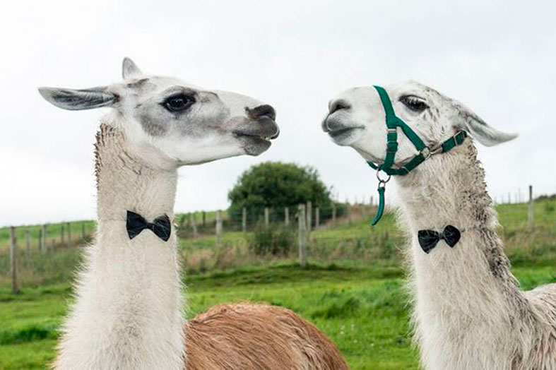 Bow tie wearing Llamas at The Wellbeing Farm!